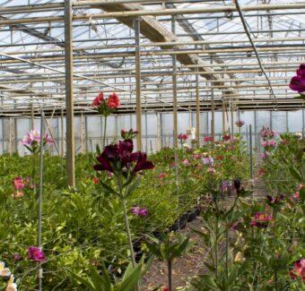Kwekerij Melenhorst - financiering voor kweken Algroemeria